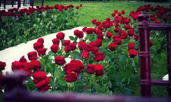 Rose in Rosso e Nero